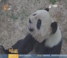 春天里 我和熊猫有个约会