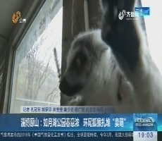 """淄博原山:如月湖公园春意浓 环尾狐猴扎堆""""卖萌"""""""