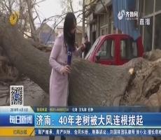济南:40年老树被大风连根拔起