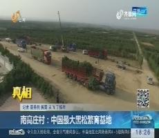 【真相】南高庄村:中国最大黑松繁育基地
