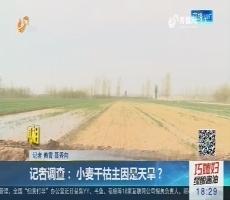 【真相】记者调查:这里的小麦为何大面积干枯?