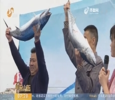 青岛:沙子口鲅鱼上岸  争霸赛惹眼