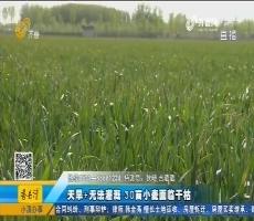 东平:天旱+无法灌溉 30亩小麦面临干枯