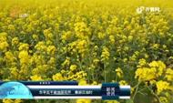 东平五千亩油菜花开 春游正当时