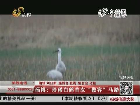 """淄博:珍稀白鹤首次""""做客""""马踏湖"""