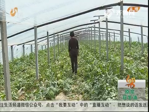 """潍坊:眼看要上市 西瓜""""全坏了"""""""