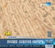 【真相】滨州旱情追踪:抗旱情况不乐观 小麦减产挺严重