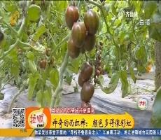 莘县:神奇的西红柿 颜色多得像彩虹