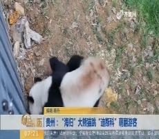 """贵州:""""海归""""大熊猫跳""""迪斯科""""萌翻游客"""