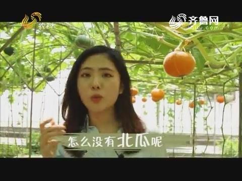 【第十九届寿光菜博会特别节目】吃了这么多年的南瓜竟然是北瓜