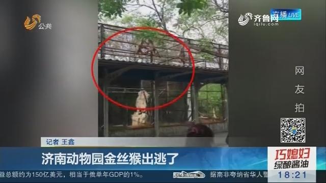 济南动物园金丝猴出逃了
