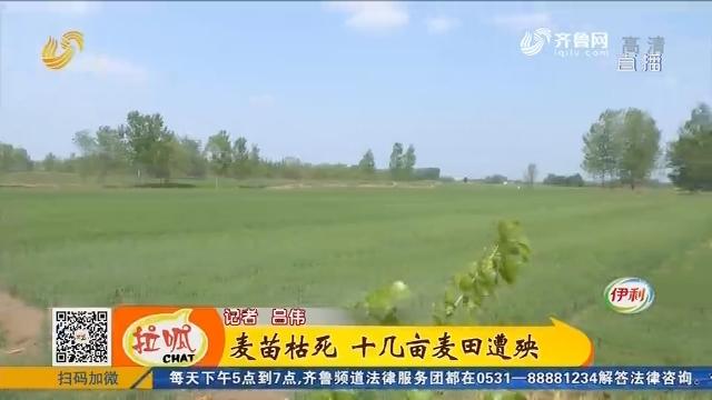 聊城:麦苗枯死 十几亩麦田遭殃