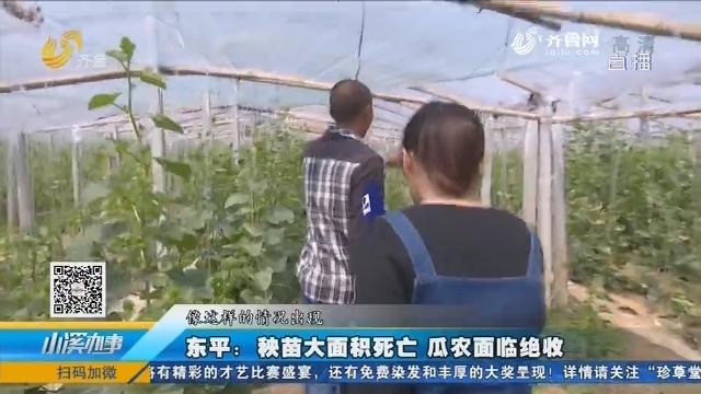 东平:秧苗大面积死亡 瓜农面临绝收