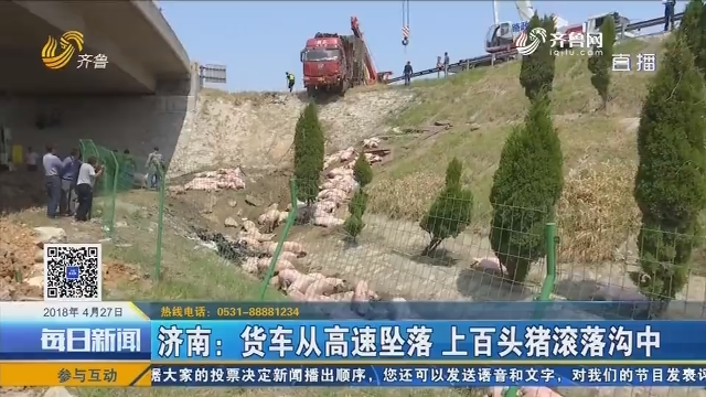 济南:货车从高速坠落 上百头猪滚落沟中