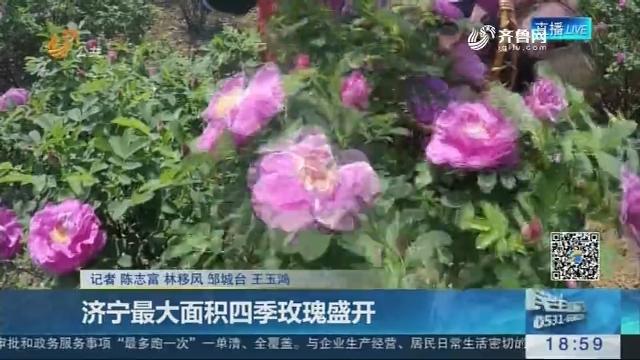济宁最大面积四季玫瑰盛开