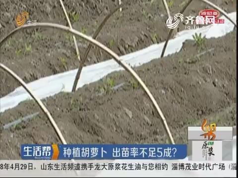 青岛:种植胡萝卜 出苗率不足5成?