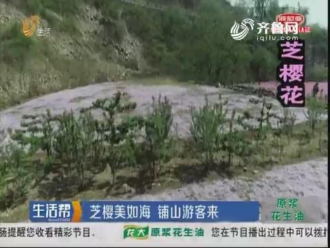 淄博:芝樱美如海 铺山游客来