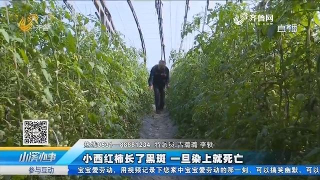 济阳:小西红柿长了黑斑 一旦染上就死亡
