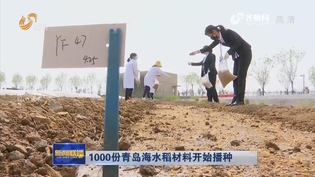 1000份青岛海水稻材料开始播种