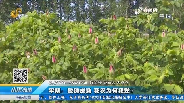平阴:玫瑰成熟 花农为何犯愁?