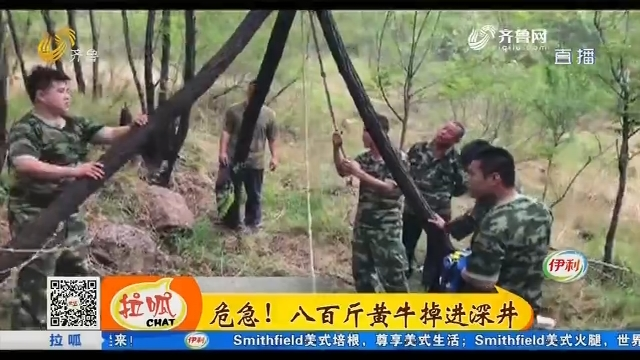 淄博:危急!八百斤黄牛掉进深井