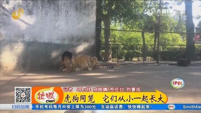 枣庄:虎狗同笼 它们从小一起长大