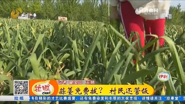 聊城:蒜薹免费拔? 村民还管饭