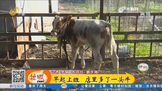 齐河:早起上班 店里多了一头牛