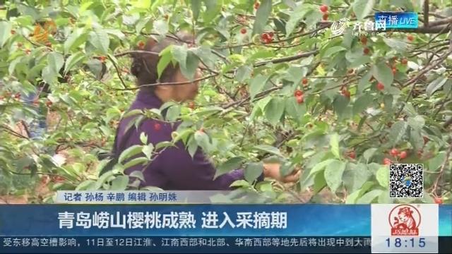 青岛崂山樱桃成熟 进入采摘期