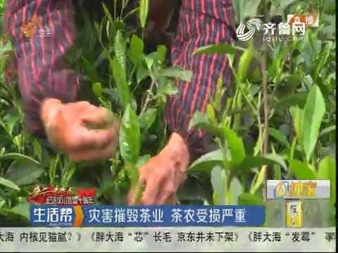 【新起点·纪念汶川地震十周年】灾害摧毁茶业 茶农受损严重