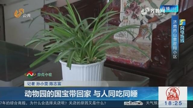 【闪电连线】济南:动物园的国宝带回家 与人同吃同睡