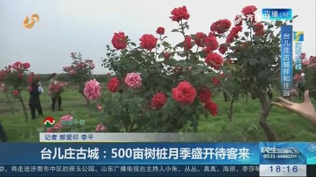 【闪电连线】台儿庄古城:500亩树桩月季盛开待客来