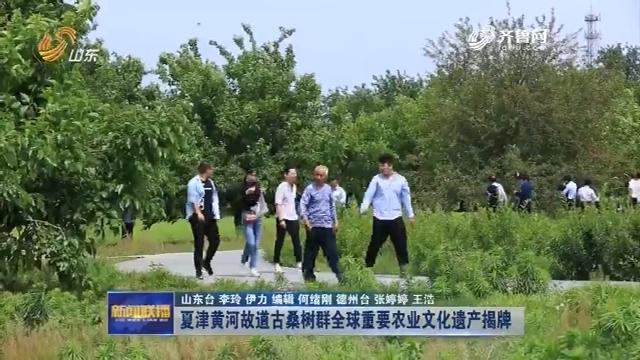 夏津黄河故道古桑树群全球重要农业文化遗产揭牌