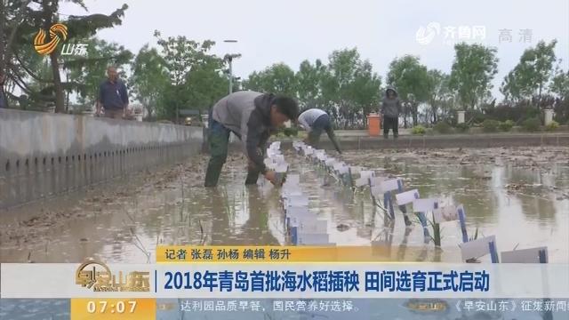 2018年青岛首批海水稻插秧 田间选育正式启动