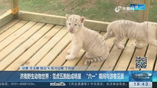 """济南野生动物世界:雪虎五胞胎成明星 """"六一""""期间与游客见面"""