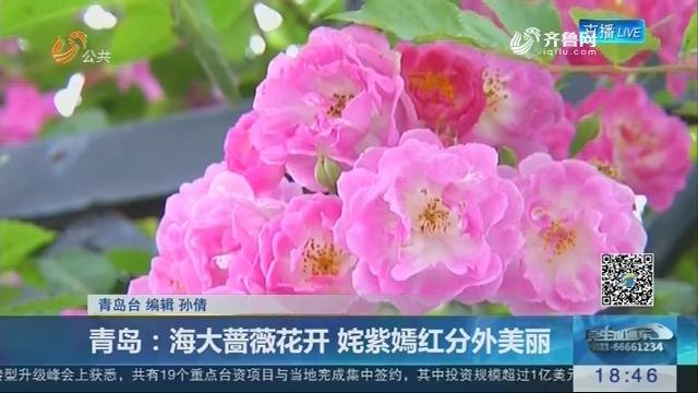 青岛:海大蔷薇花开 姹紫嫣红分外美丽