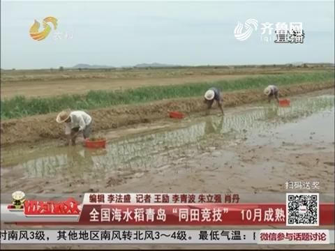 """全国海水稻青岛""""同田竞技"""" 10月成熟"""