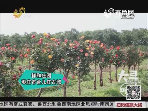 大寻味:枣庄的月季花宴