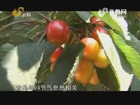 张宗堂的节气樱桃