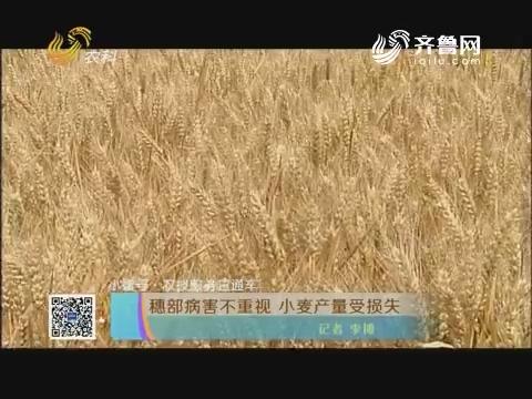 小螺号·农技服务直通车:穗部病害不重视 小麦产量受损失