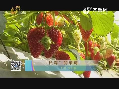 """""""长寿""""的草莓"""