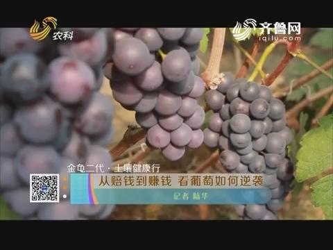 【金龟二代·土壤健康行】从赔钱到赚钱 看葡萄如何逆袭
