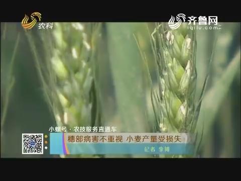 【小螺号·农技服务直通车】穗部病害不重视 小麦产量受损失