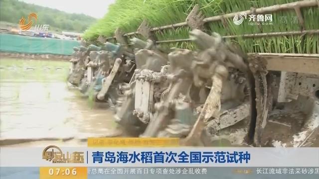 青岛海水稻首次全国示范试种