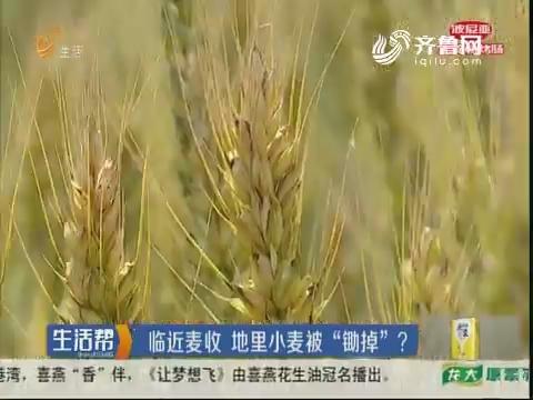 """潍坊:临近麦收 地里小麦被""""锄掉""""?"""