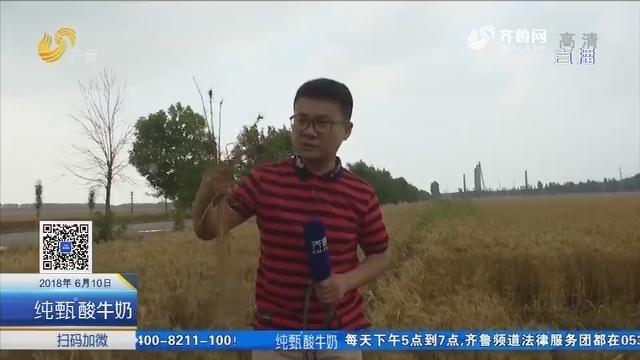 多地降雨 山东省麦收进程延缓
