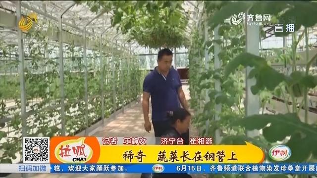 济宁:稀奇 蔬菜长在钢管上