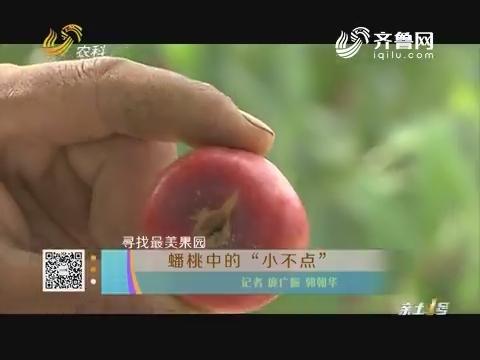 """寻找最美果园:蟠桃中的""""小不点"""""""