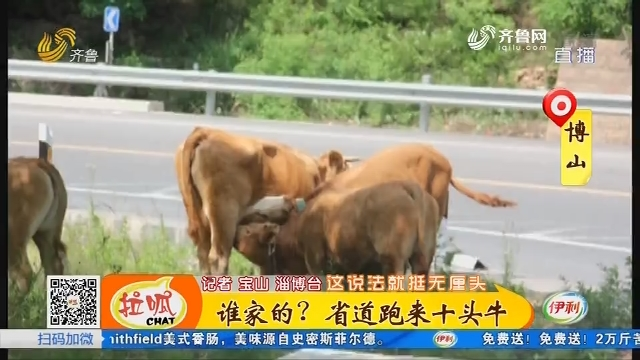 博山:谁家的?省道跑来十头牛