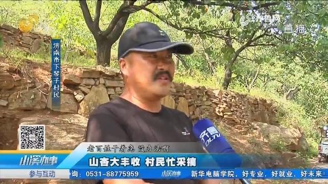 济南:山杏大丰收 村民忙采摘